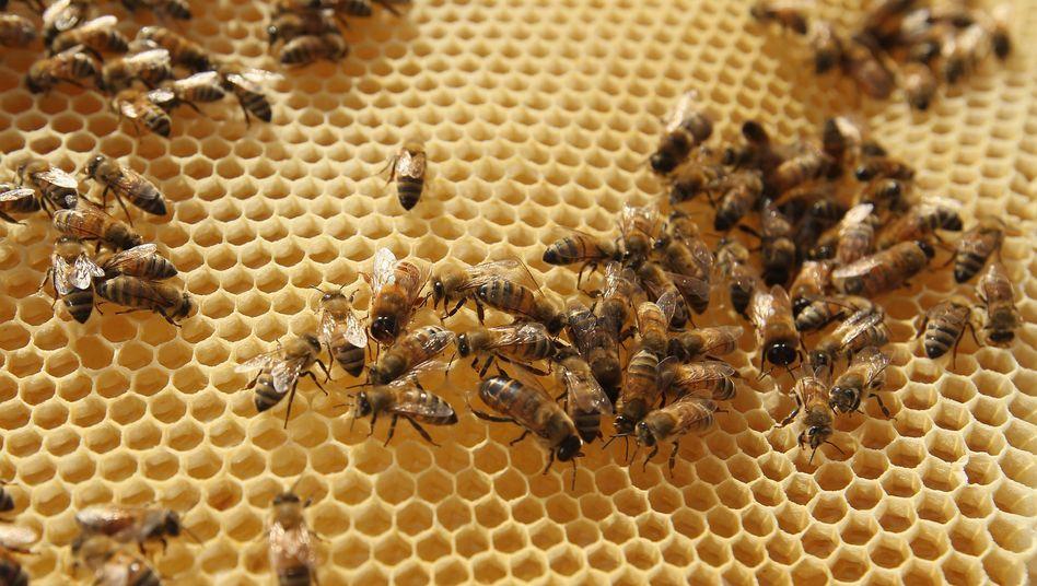 """Bienen (in Berlin, Mai 2012): """"Zweijähriges Verbot nicht ausreichend"""""""