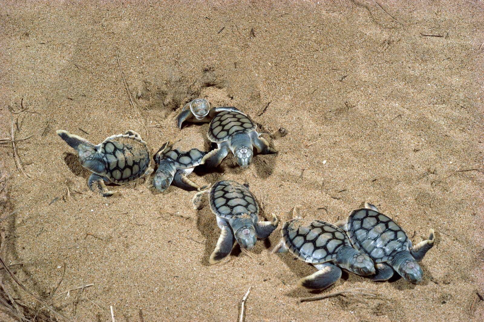 Flatback Turtles - Hatchlings emerging at night (Natator depressus). Mon Repos Beach, Bundaberg, Queensland, Australia.