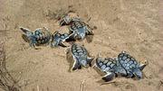 Wie künstliche Intelligenz Schildkrötenbabys rettet