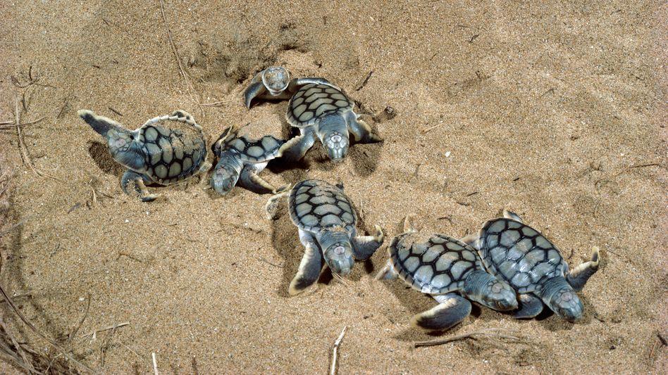 Junge Schildkröten in Australien: Indigenes Wissen und Technologie können zusammen einen besseren Umweltschutz ermöglichen