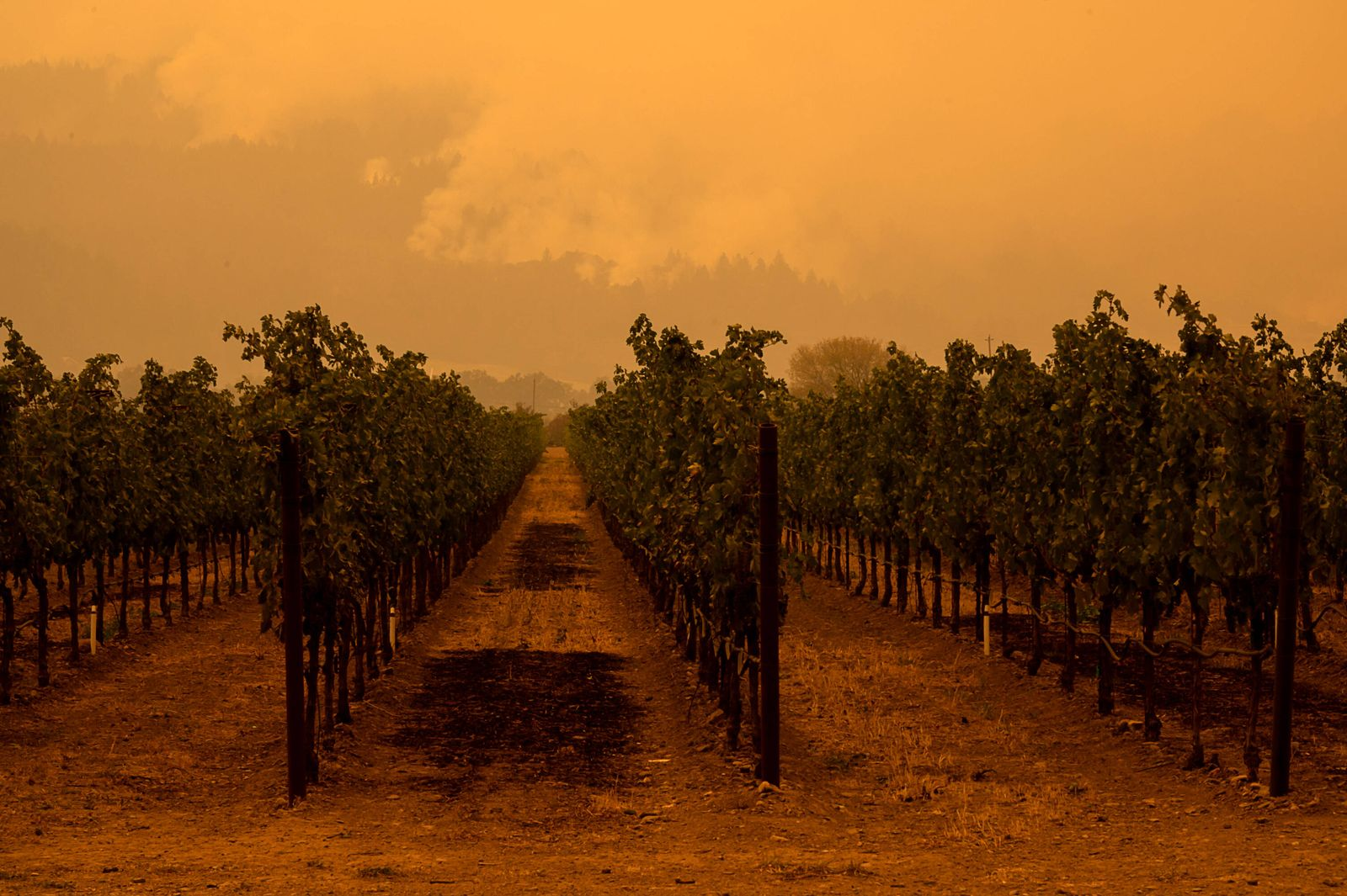 September 28, 2020, St. Helena, CA, USA: Hot spots burn in the hills above a vineyard looking west from Silverado Trail