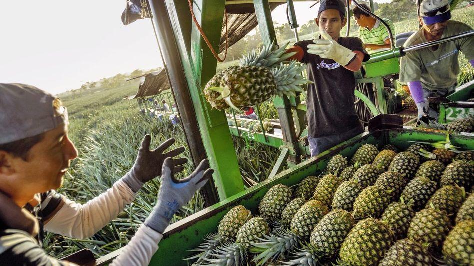 Erntehelfer in Costa Rica: Eine mächtige Lobby