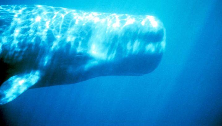 Wale: Gejagte Meeressäuger
