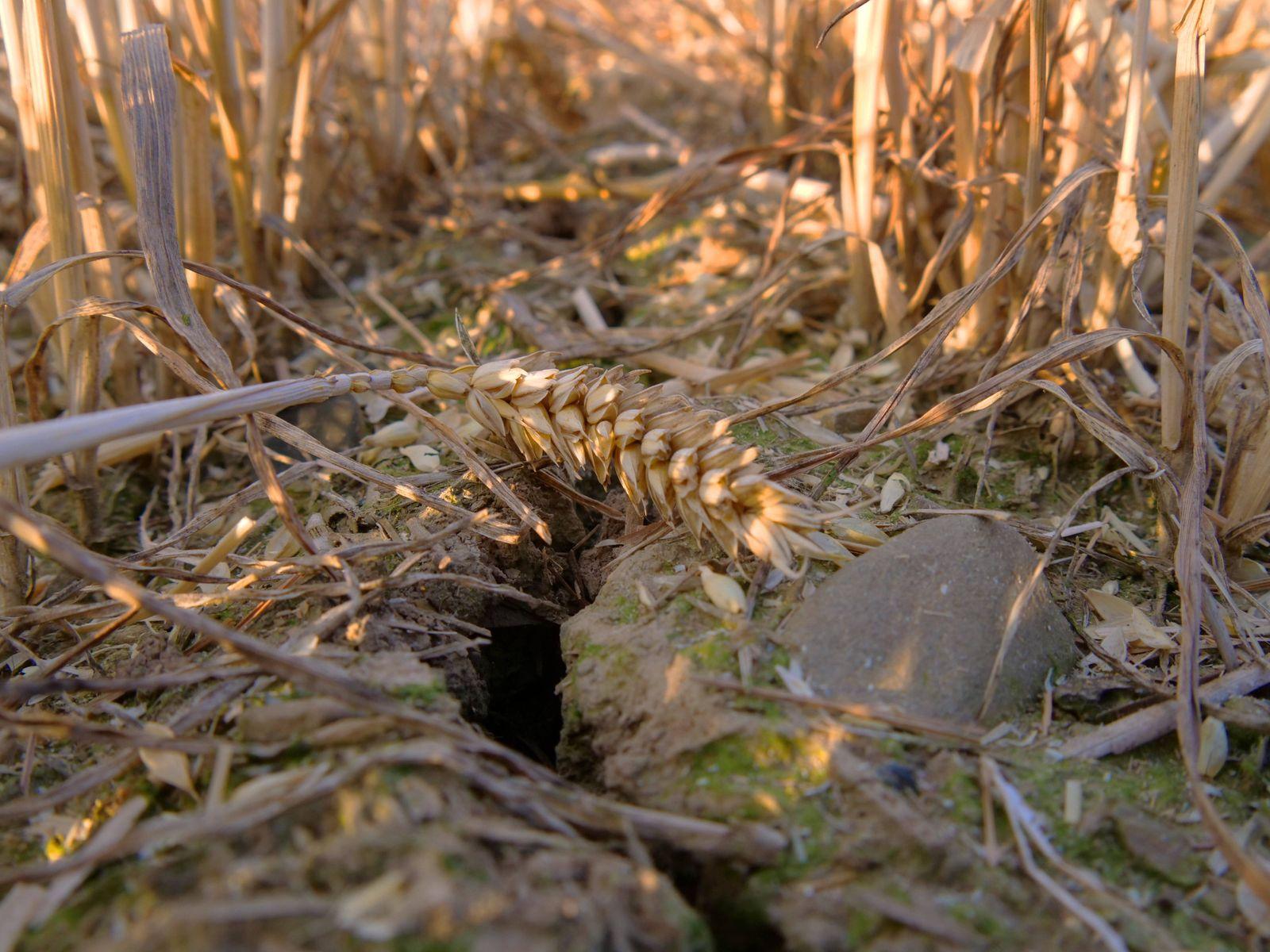 Duerrer Boden und Pflanzen auf einem Weizenfeld in Deutschland. Duerre *** Dry soil and plants on a wheat field in Germ