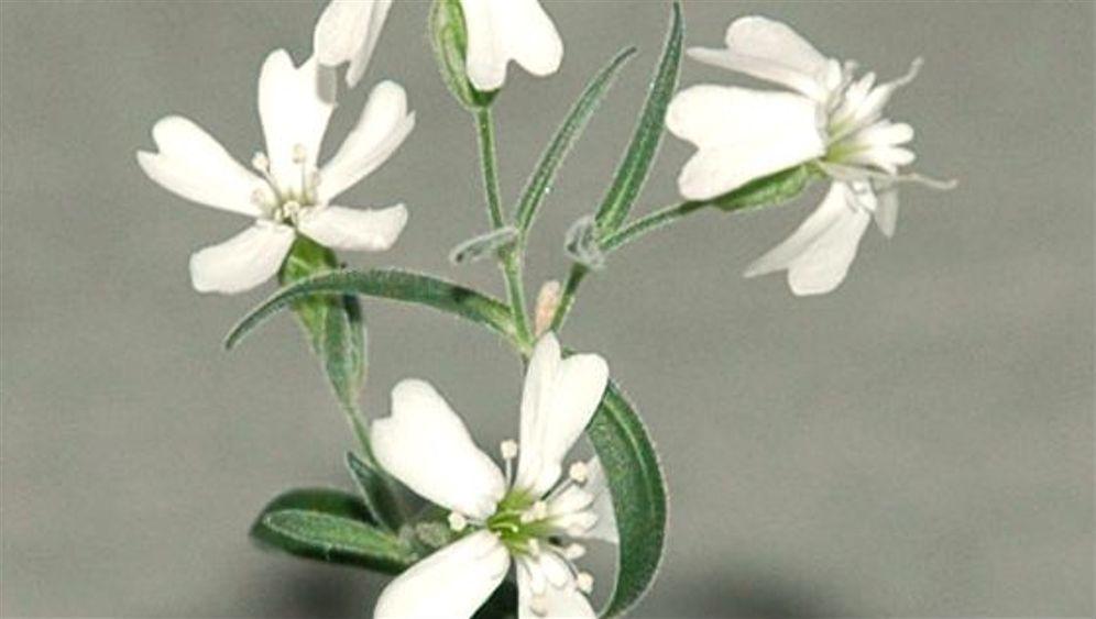 Silene stenophylla: Blumengruß aus der Eiszeit