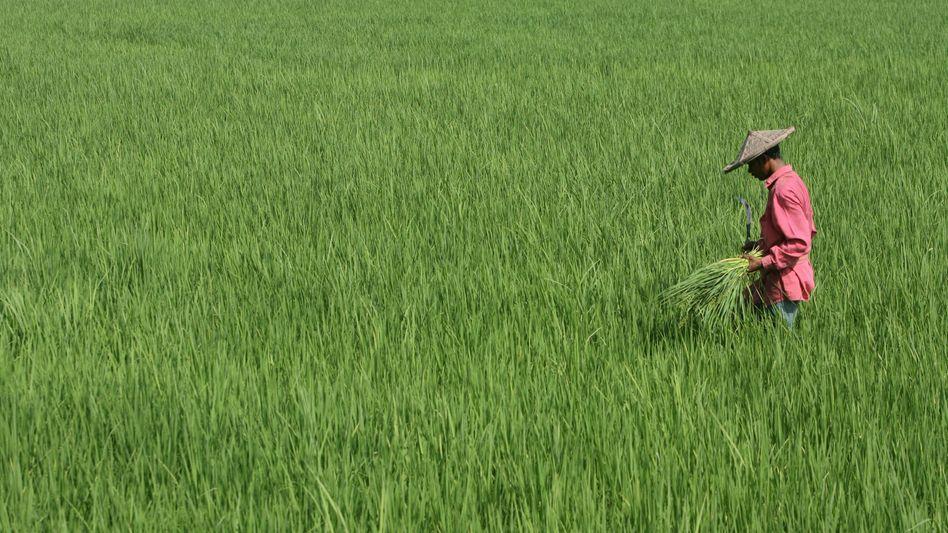 Reisfeld in Indien: Mehr Kohlendioxid in der Atmosphäre kann kontraproduktiv sein