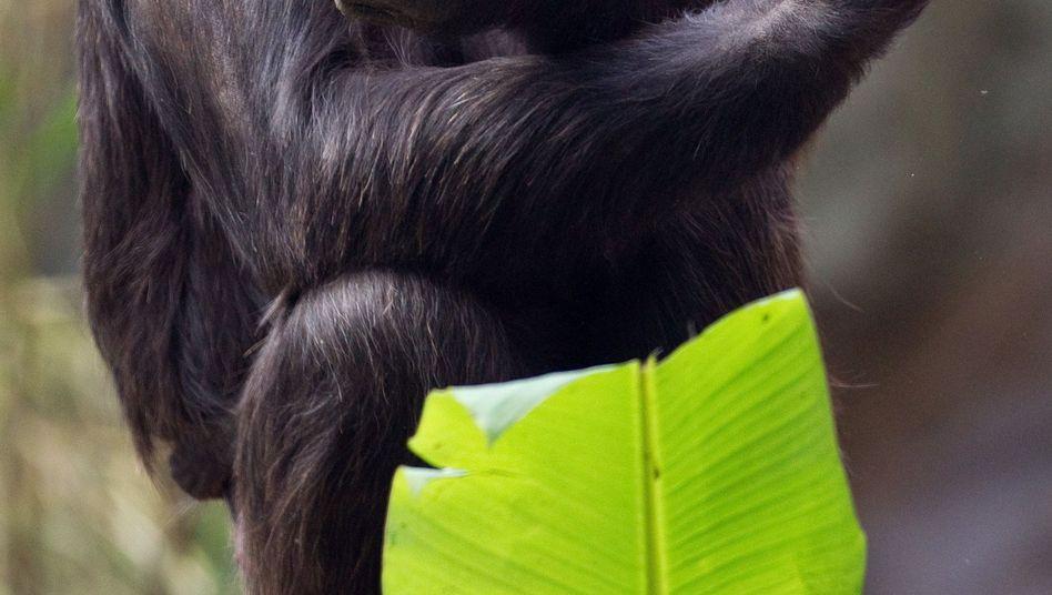 Schimpanse mit Äpfeln: Die Tiere nutzen gezielt eine Art Herd, um gekochte Nahrung zu bekommen