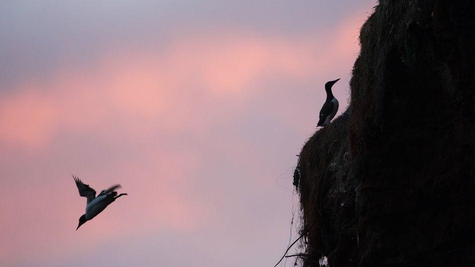 Helgoland: Trottellumme im Sturzflug