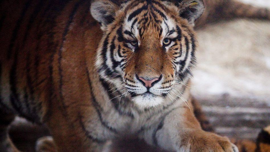 Amur-Tiger (Archivbild): Tödlicher Zwischenfall im Osten Russlands