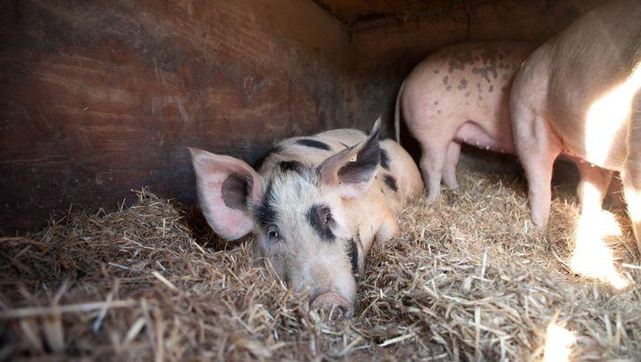 Schwein gehabt: Vom Ferkel zur Wurst