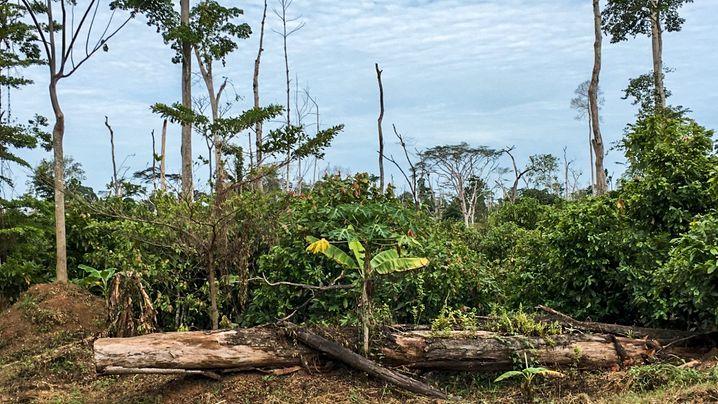Kakaoanbau in der Elfenbeinküste: Für Kakao wird der Regenwald zerstört