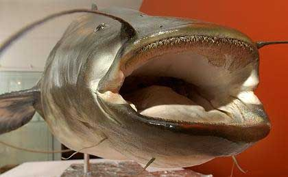 A wels catfish on display in a Mönchengladbach museum: Berlin bathers are terrified of a giant catfish said to be living in a local lake.