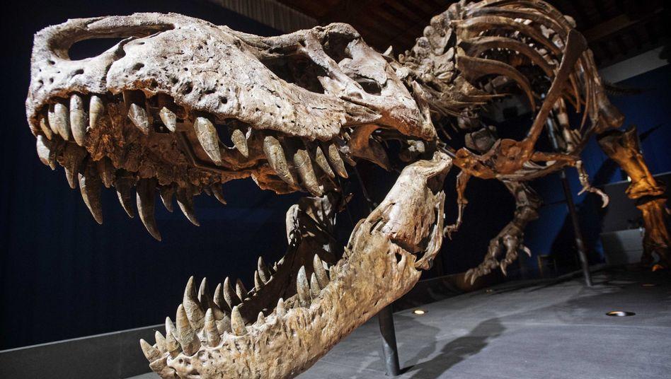 Skelett-Nachbau eines Tyrannosaurus Rex: Das Vulkan-Scenario passt zeitlich nicht