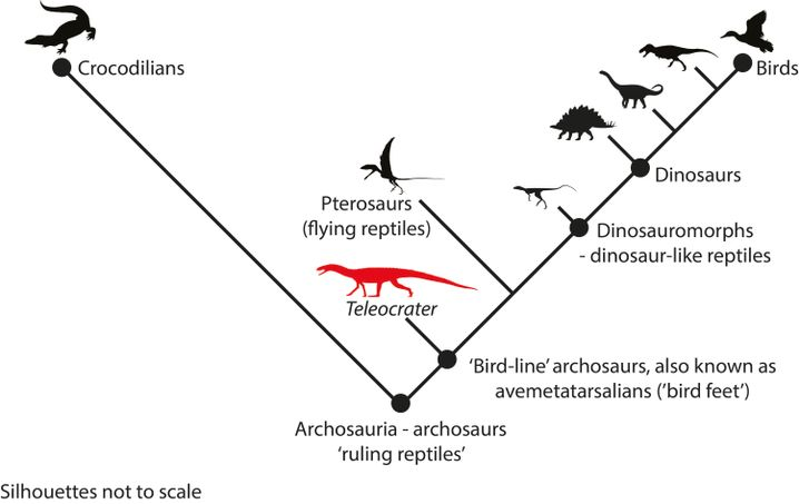 Vereinfachte Darstellung des Archosaurier-Stammbaums ab Trennung der Entwicklungslinien der Crurotarsi (links) und der Avemetatarsalia