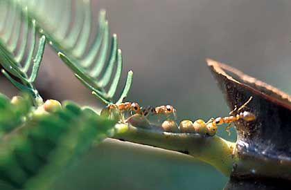 Ameisen auf einer Akazie: Insekten leisten wertvolle Dienste