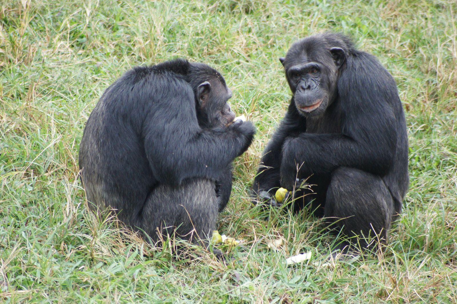 Schimpansen / Soziales Verhalten