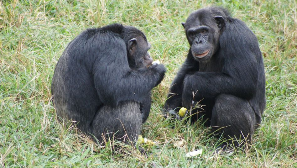 Schimpansen in Uganda: Soziales Lernen durch Beobachten und Nachahmen