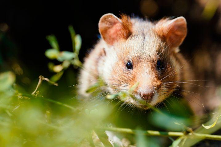 Feldhamster - aus 75 Prozent seines Verbreitungsgebiets verschwunden