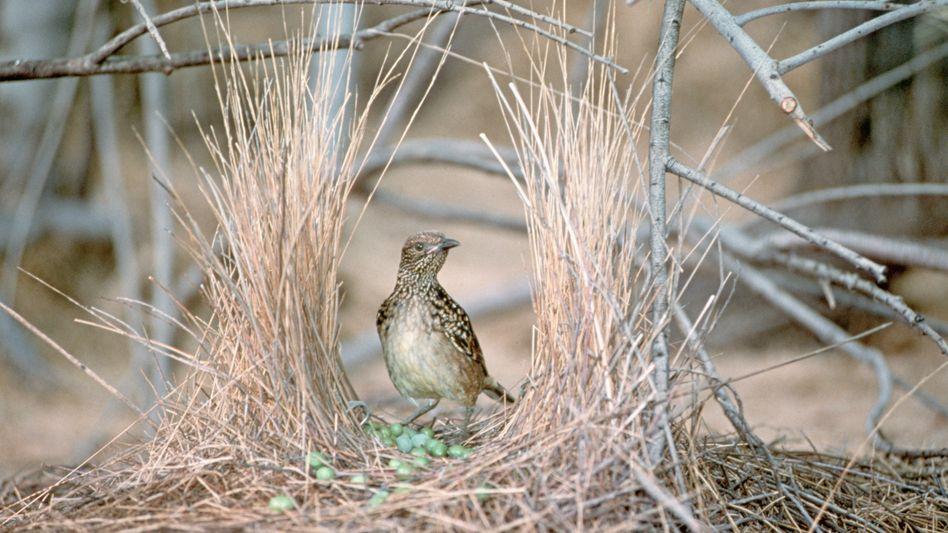 Laubenvogel bei der Brautschau: Mehr als ein Dutzend Vogelarten-Songs im Repertoire