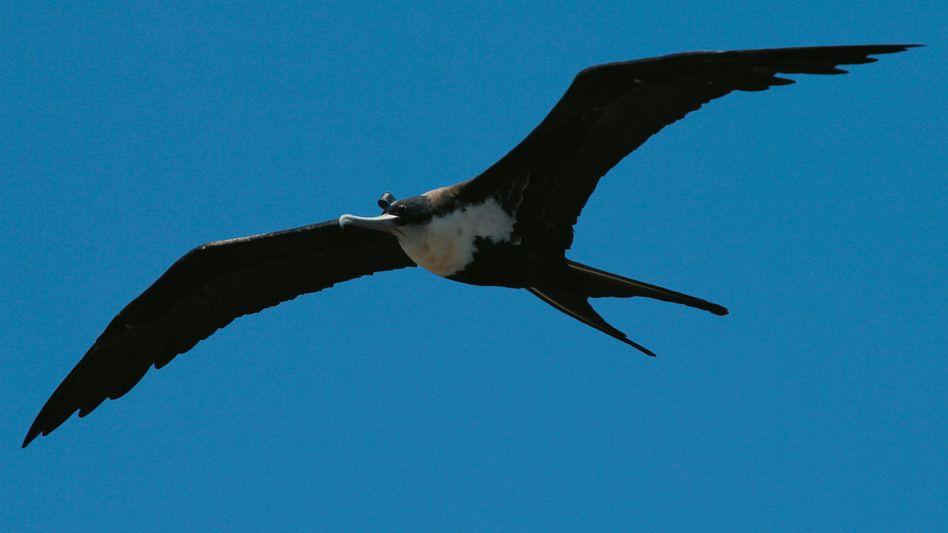 Fliegender Fregattvogel