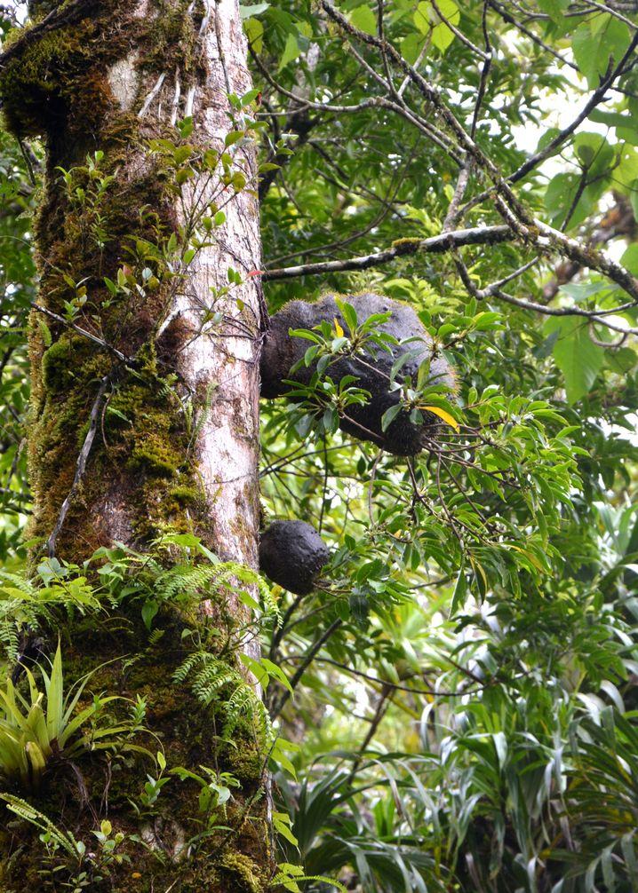 Von Ameisen der Art Philidris nagasau auf den Fidschi-Inseln gepflanzte und genutzte Gewächse, die in Baumrinden wachsen