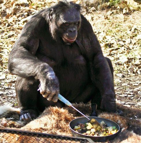 Der Bonobo Kanzi lebt in den USA in einem Forschungszentrum. Dort lernte er, sich mit Zeichensprache zu verständigen und Feuer zu machen.