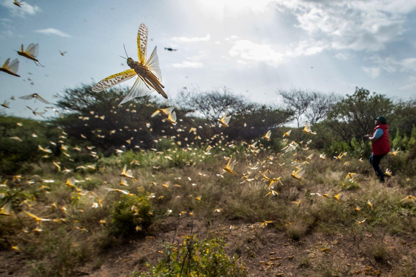APTOPIX Africa Locust Outbreak