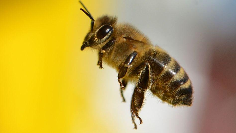 Biene auf dem Lohrberg in Frankfurt am Main