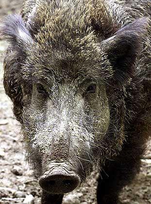 Wildschwein: Auf Usedom erlegtes Tier trug den gefährlichen Parasiten in sich