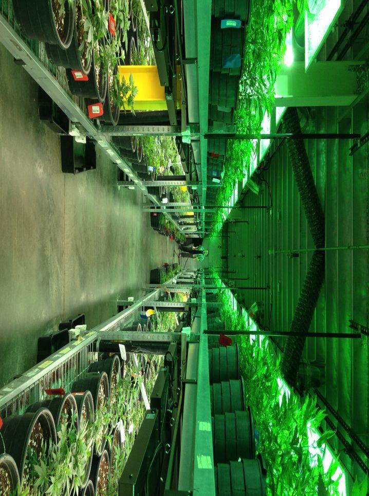 "Cannabis-Anbau in Colorado: 25,3 Millionen Dollar ""Kiffersteuern"""