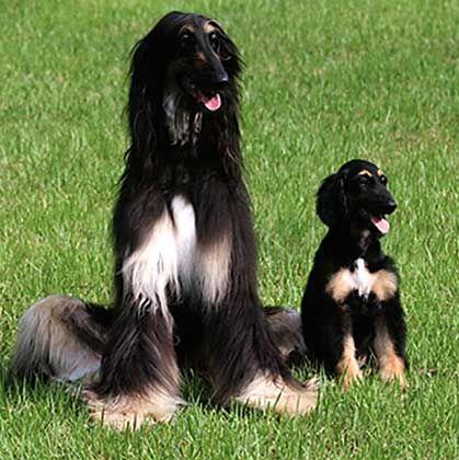 """Klonhund """"Snuppy"""" (rechts): Identische Kopie des Vaters"""