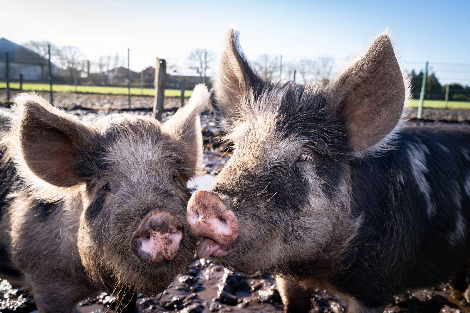 Bioschweinehaltung - Linderödschweine auf einer extrem durchnäßten Schweineweide Bio-Landwirtschaft - haltung von selte