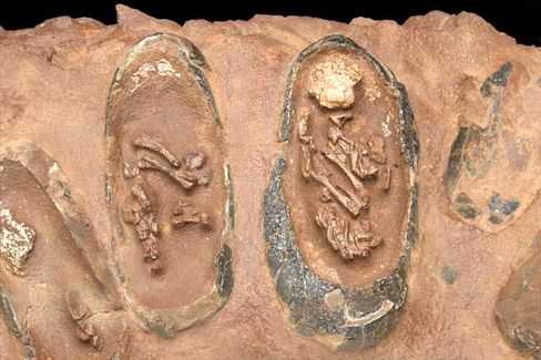 Dino-Eier: Manche Saurier füllten offenbar schon ihr Nest, bevor sie selbst ausgewachsen waren
