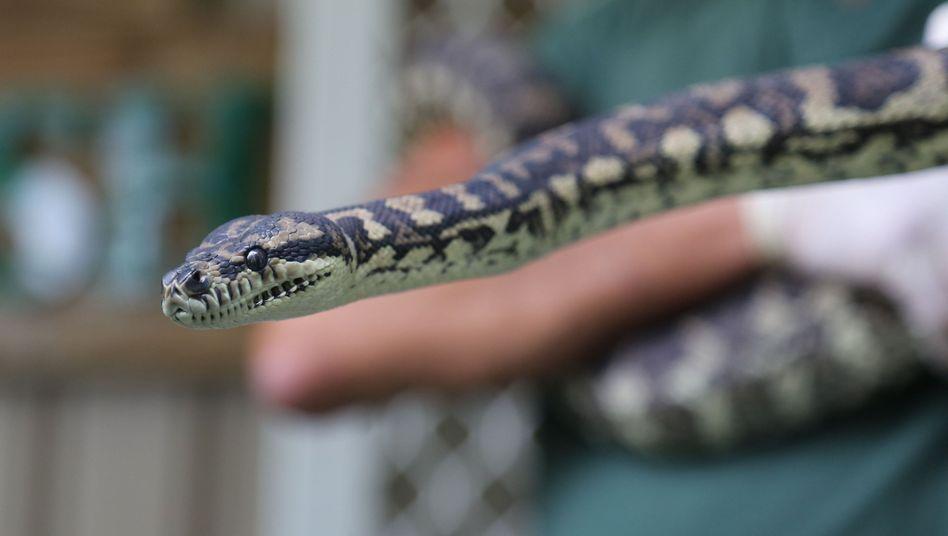 Drogenabhängiger Python in einer Entzugseinrichtung in Windsor, Australien