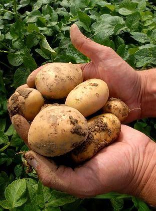 Sorte Amflora (Archivbild): Kartoffel entwickelt höherwertige Stärke
