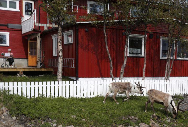 Rentiere grasen vor einem Haus in Hammerfest, nördlich des Polarkreises