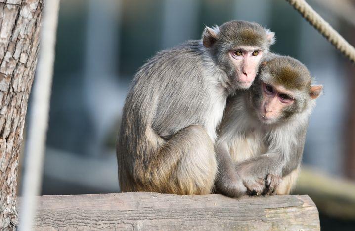 Zwei Rhesusaffen im Heidelberger Zoo
