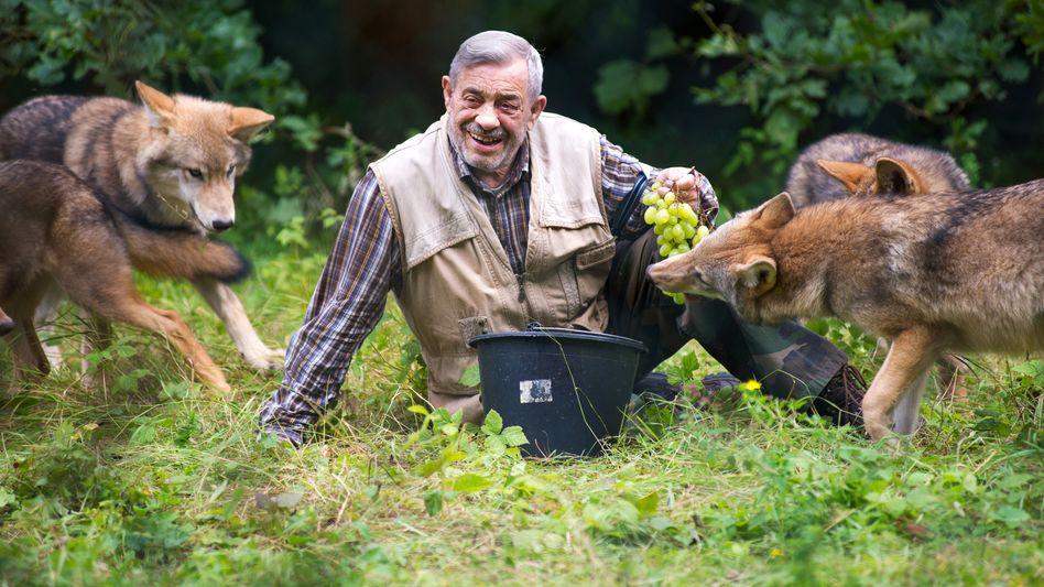 Forscherlegende: Werner Freund füttert am 14.08.2012 junge Wölfe in seinem Wolfspark in Merzig (Saarland) mit Weintrauben