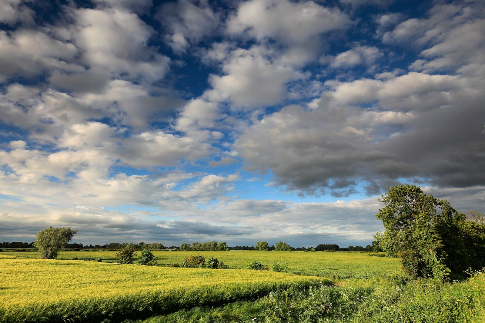 Summer barley crop in a Fenland Field, Wisbech town, Cambridgesh