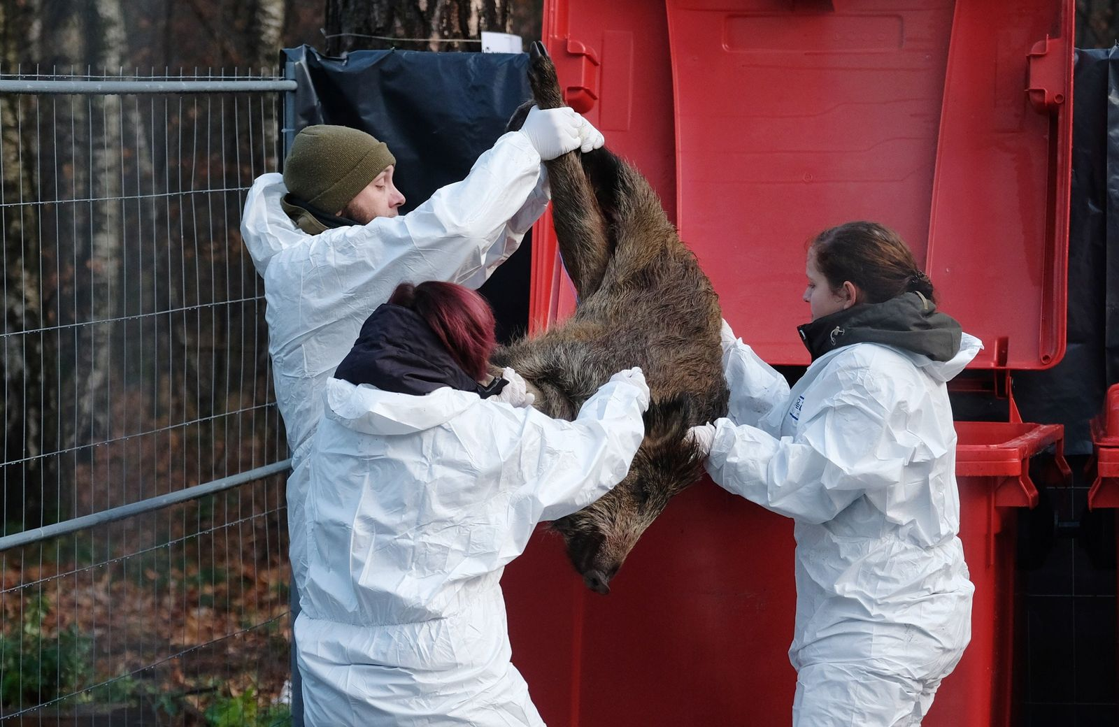 Behörden proben Verhalten bei Schweinepest