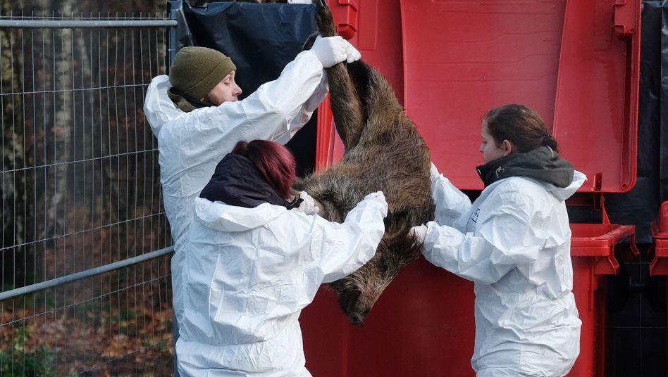Übung in Sachsen: Experten befürchten, dass das Schweinepest-Virus auf die Hausschweinpopulation übergeht