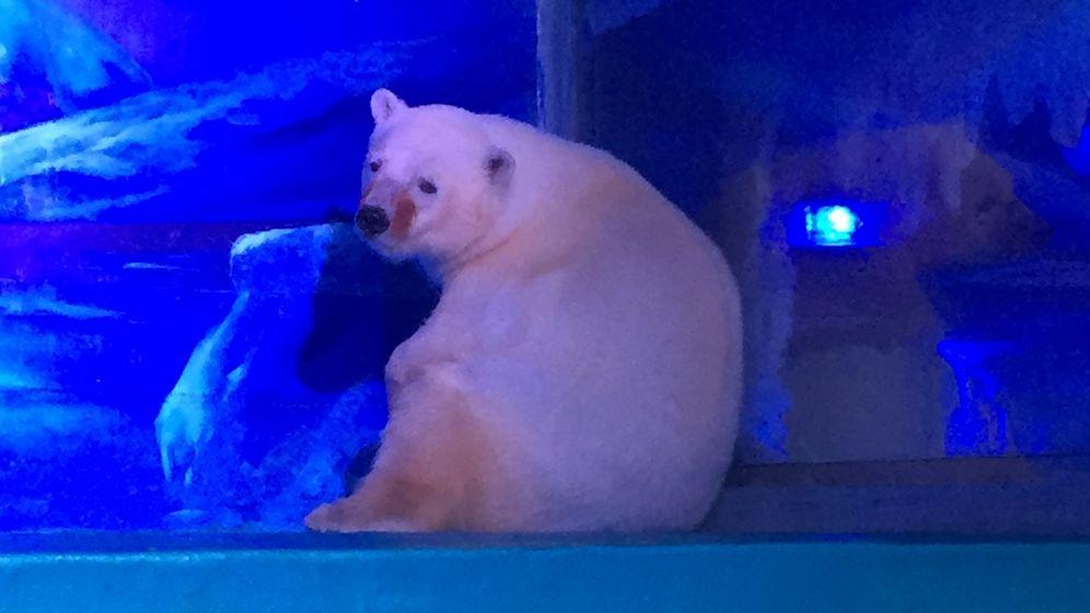 Kein Happy End für Pizza in China: Eisbär darf nicht umziehen