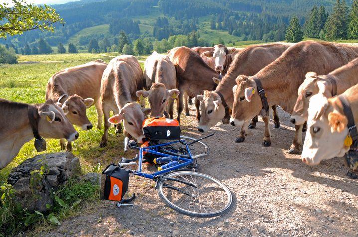 Ammergauer Alpen: Pause mit Kuh