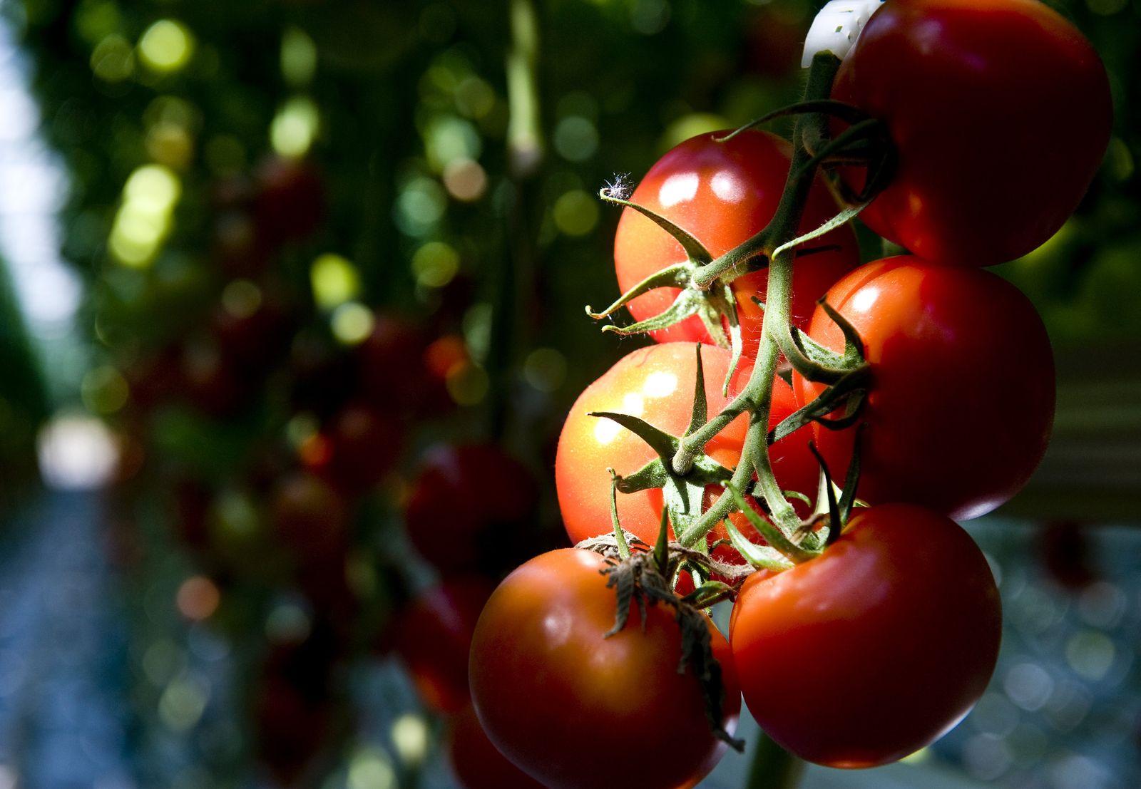 Erbgut der Tomate ist entziffert