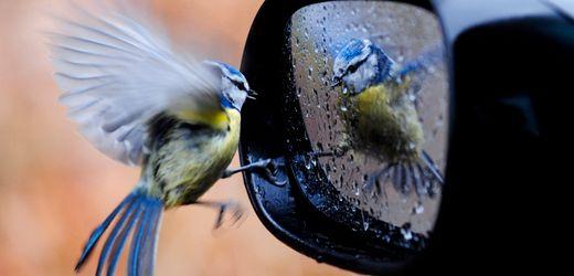 Aufruf zur Vogelzählung: Haben sich die Blaumeisen erholt?