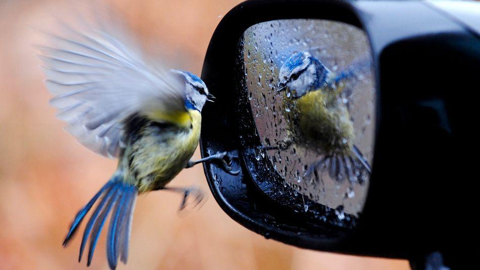 Eine Blaumeise und ihr Spiegelbild