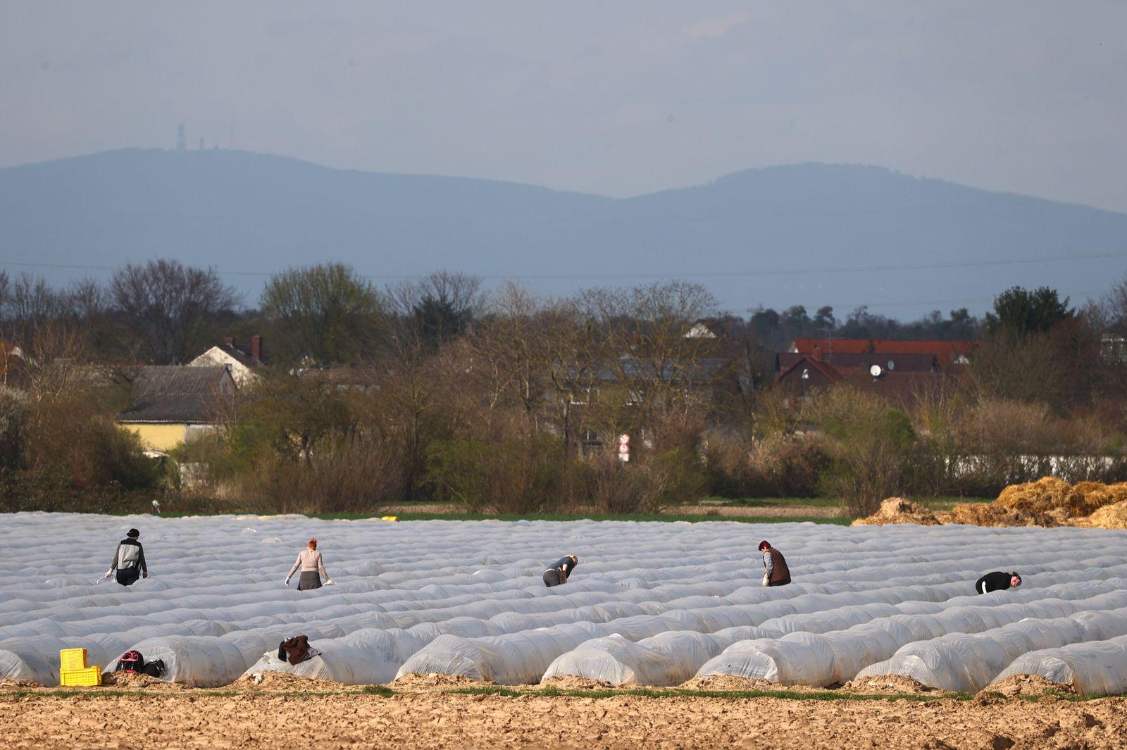 Asparagus is harvested on a field in Weiterstadt near Frankfurt