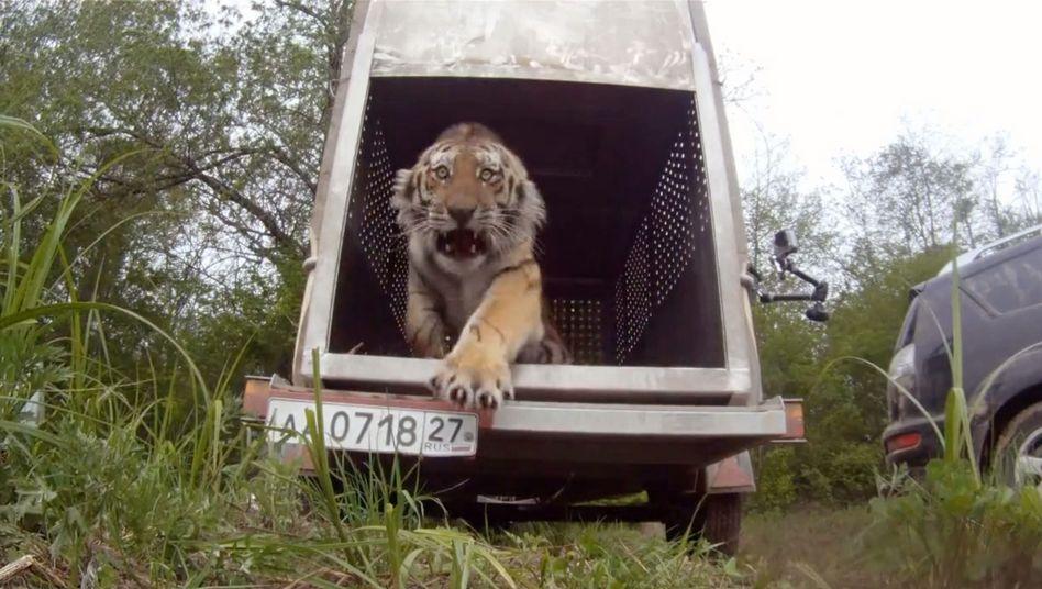 """Schnell raus hier: Tiger """"Sturkopf"""" zeigte bei Auswilderung Zähne"""