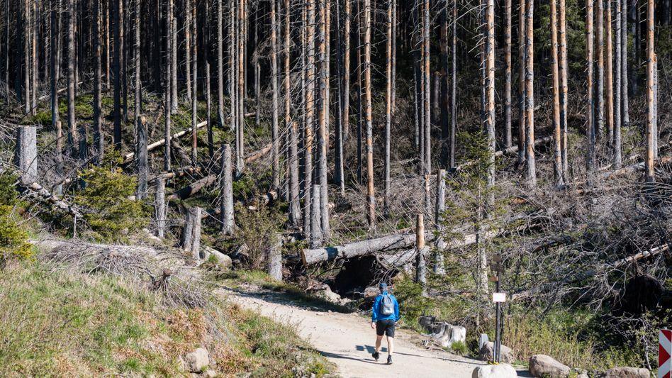 Dürre macht auch dem deutschen Wald zu schaffen. Hier wandert ein Mann durch vertrocknete Fichten im niedersächsischen Clausthal-Zellerfeld