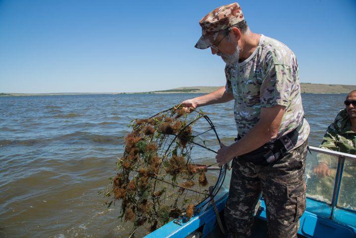 Sergej überprüft eines der Gitter mit Kaviar der Brachse. In den Algen ist nur noch wenig der kleinen ockerfarbenen Fischereier enthalten. Das heißt, die Larven sind bereits geschlüpft.